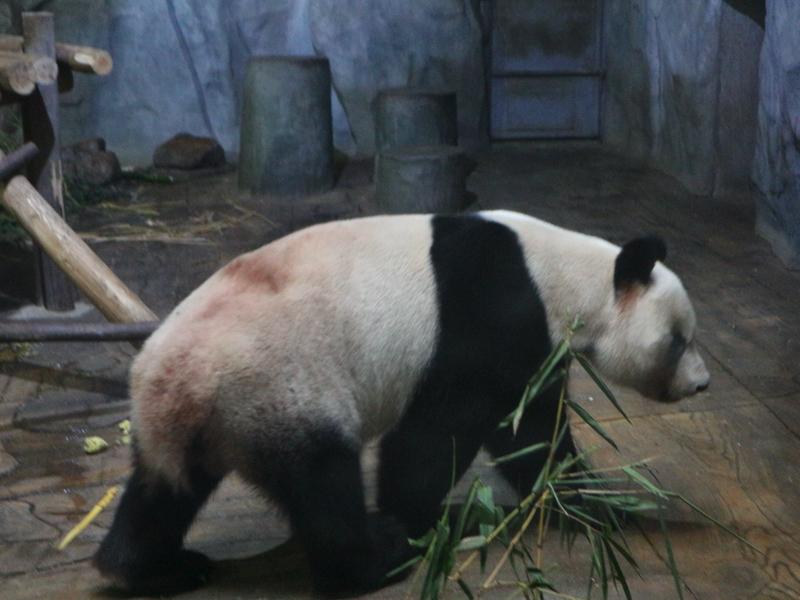 深セン野生動物園(パンダ)
