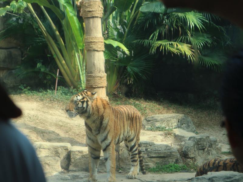 深セン野生動物園(トラ展示)