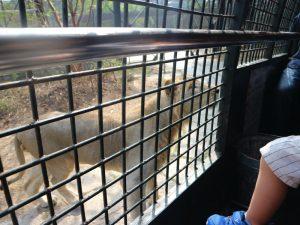 深セン野生動物園(ライオンの餌やり体験)