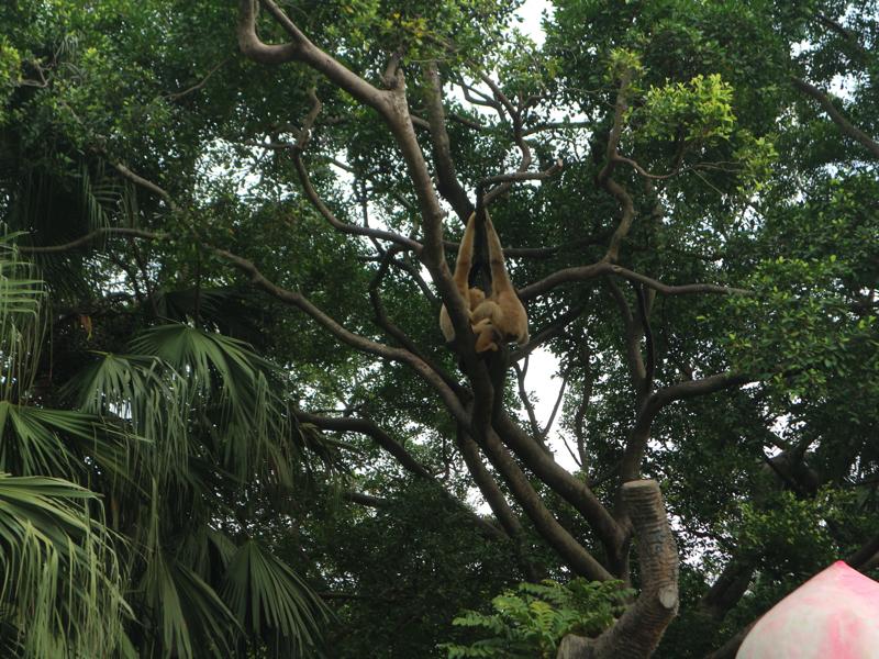深セン野生動物園(猿)