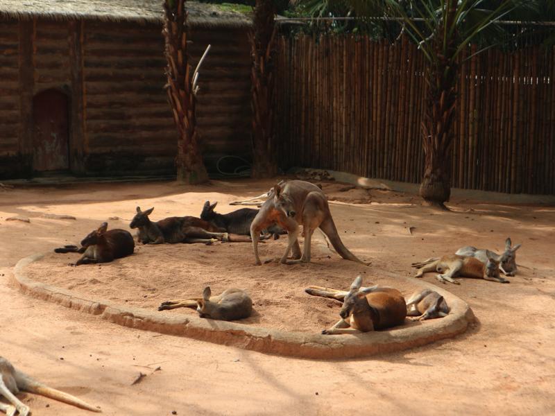 深セン野生動物園(カンガルー)