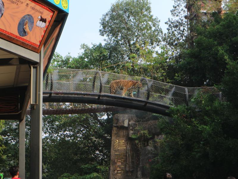 深セン野生動物園(トラが真上を通っていく展示)