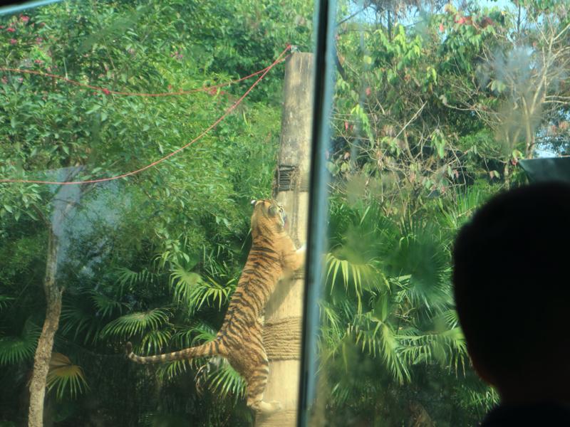 深セン野生動物園(トラの木登り)