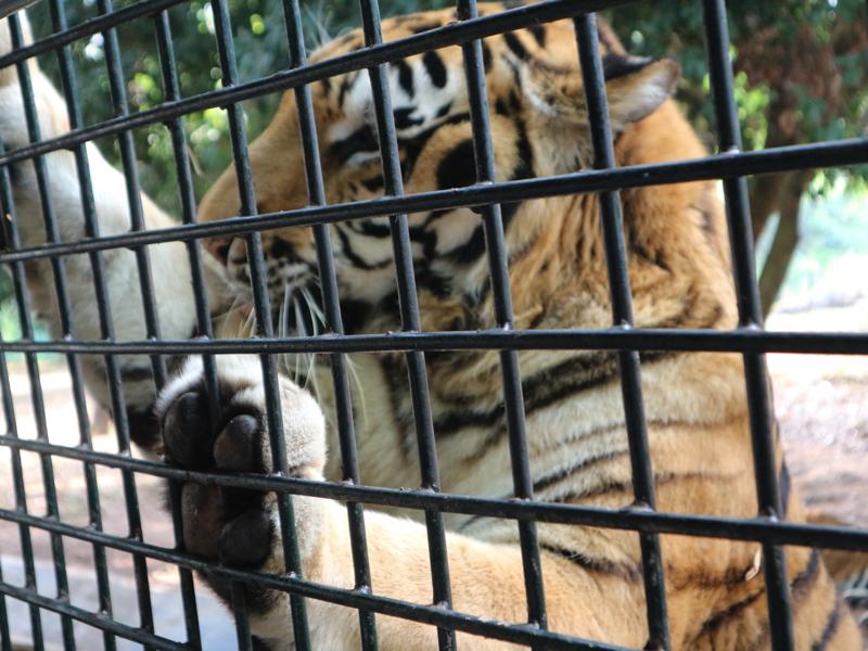 深セン野生動物園(トラの餌やり体験)