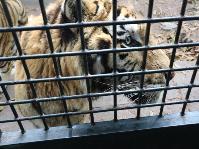 深セン野生動物園(至近距離のトラ)